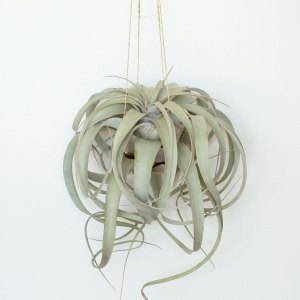 12 Inch Extra Large Tillandsia xerographica