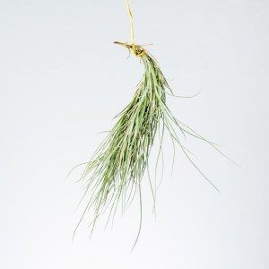 Tillandsia Kimberly