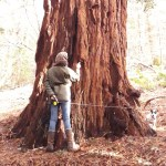 Coast Redwood Groves in Wales – a planting solution in a changing climate?