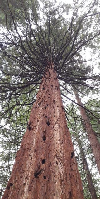 Shot from ground up of coast redwood tree at Leighton Grove
