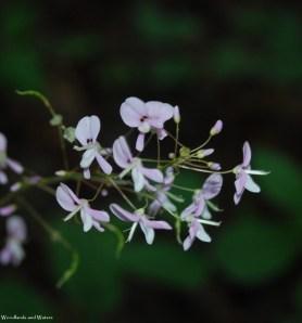 Naked-flowered tick trefoil