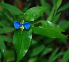 Asiatic dayflower
