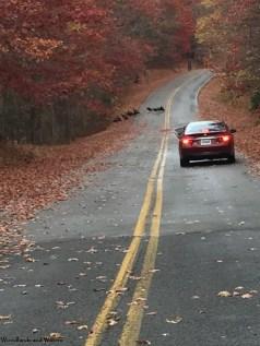 Turkeys crossing the road