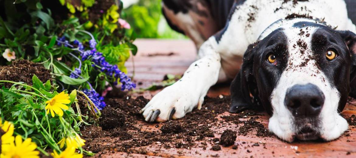 dog digging in house plants