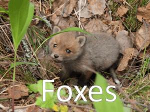 An image of a fox
