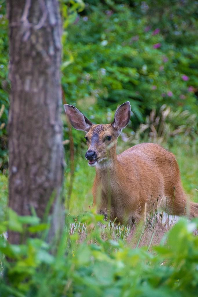 Black-tailed doe looking alert