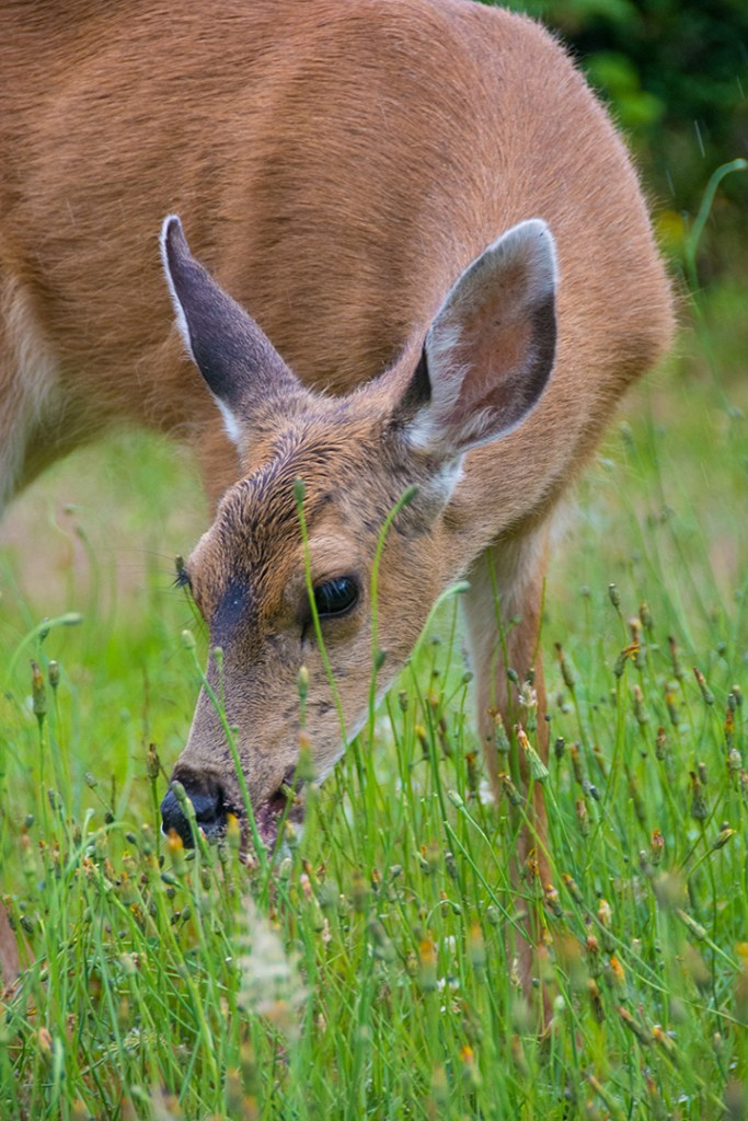 Black-tailed doe grazing on grass
