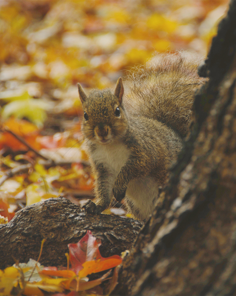 Squirrel peeking around a tree trunk surrounded by fall foliage
