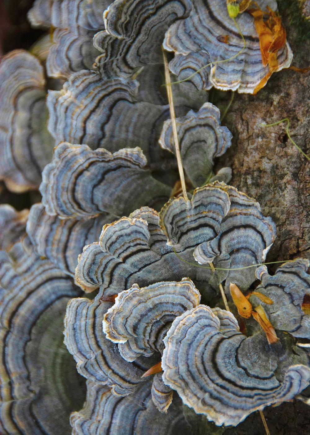 Turkey tail fungus at Wolf Trail