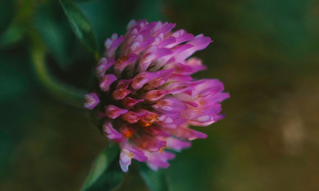 Red clover flower grows in a lawn.
