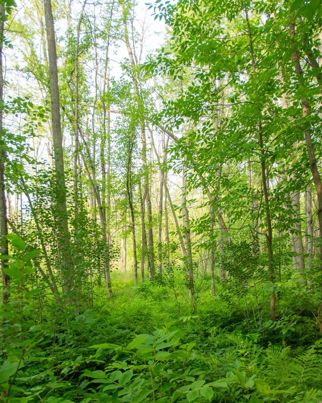 Deciduous forest in Ottawa's Greenbelt