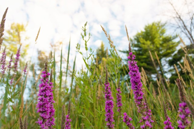 Purple loosestrife grows in wetland areas at Beaver and Chipmunk Trails