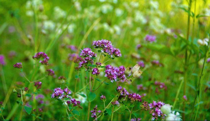 Summer wildflowers in Ottawa's Greenbelt