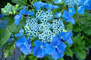 Hydrangea macrophylla Nightingale