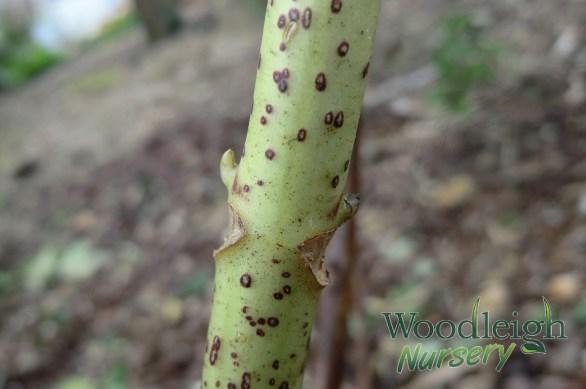 Hydrangea Pruning Bud - Leaf