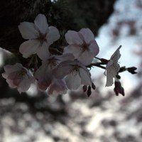 Cherry blossoms at Cornwall park | One Tree Hill