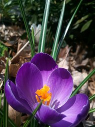 APR: first crocus of the season; my front yard