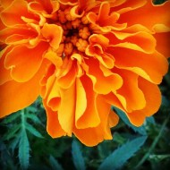 SEP: marigold; my back yard