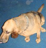 Bloodhound, Danny, a dog sock wearer.