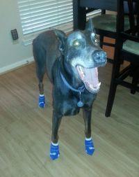 Brinks the Doberman in Power Paws Socks