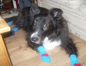Daisy in Power Paws Socks for Dogs