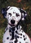Dalmation puppy, Dani, a Traction Treads wearer.
