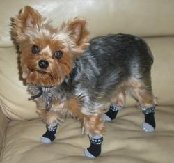 Freddy Wears Non Slip Power Paws Dog Socks
