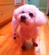 Bichon Frise in Traction Dog Socks