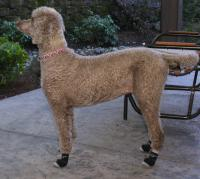 Standard Poodle Morgan Wears Non Slip Dog Socks to the Cafe