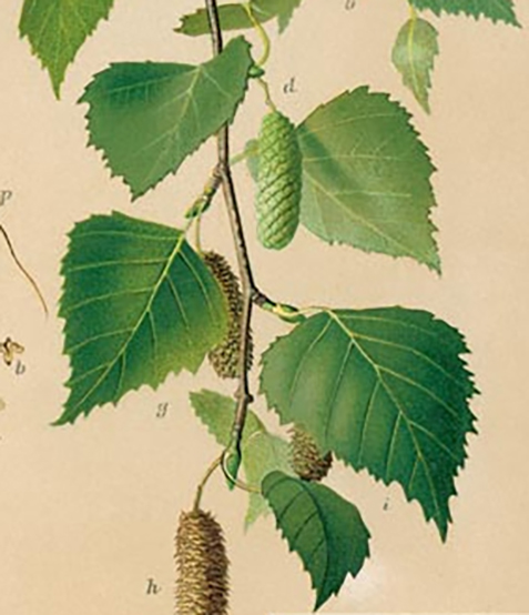 Birch twig, leaves and droops containing seeds
