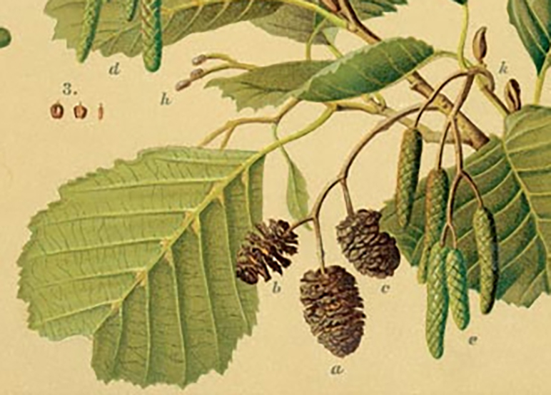 Alder leaves and twigs with ripe cones