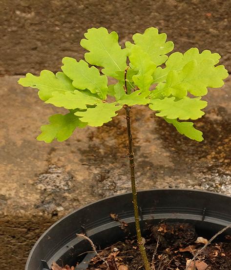 Oak seedling, first year