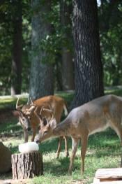 wbr-deer2