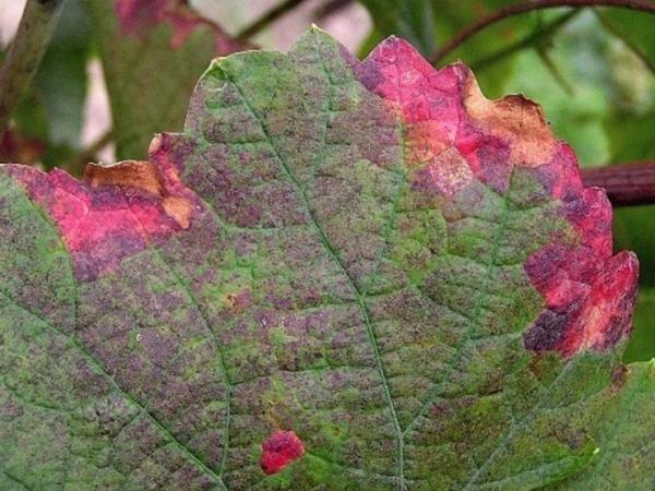 Болезни винограда и меры борьбы с ними - Новости Строительства