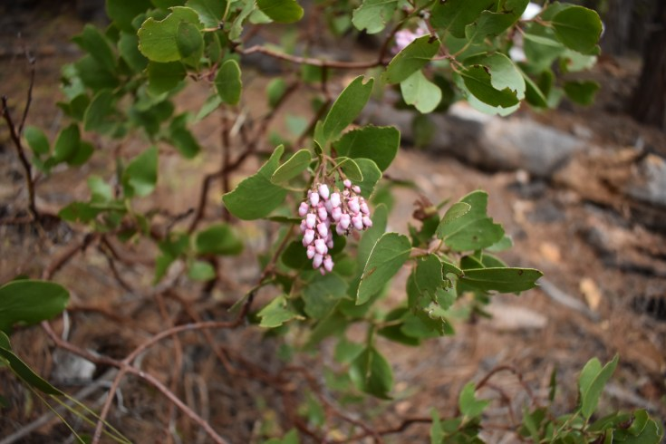 This may be Arctostaphylos patula