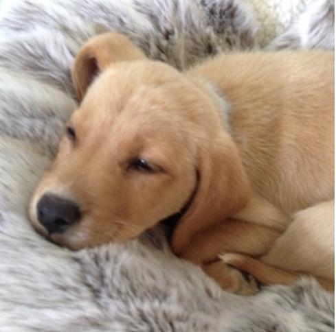 Beige Koala New Faux Fur Dog Blanket