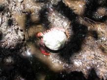 Biggest hermit crab I've ever seen.