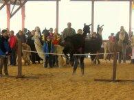 Leaping alpaca