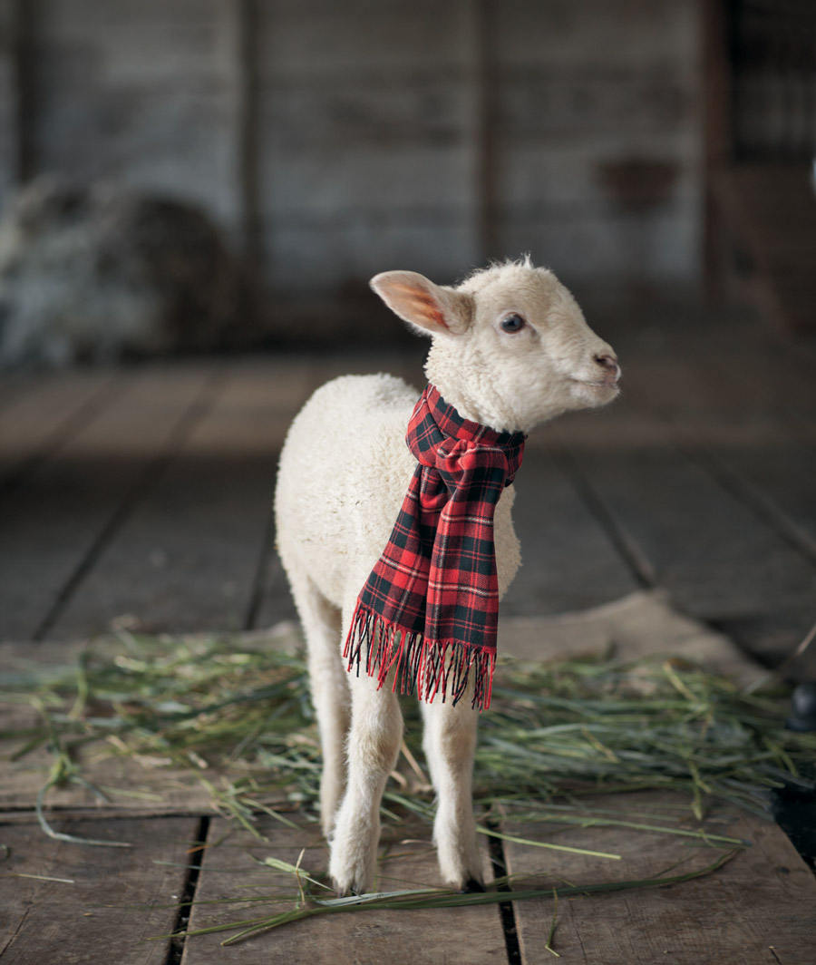 A young white lamb stands on a wooden barn floor, wearing a Pendleton tartan wool scarf around its neck.