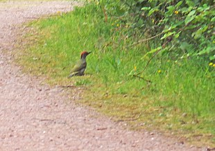 YOUNG GREEN WOODPECKER JULY 12TH E