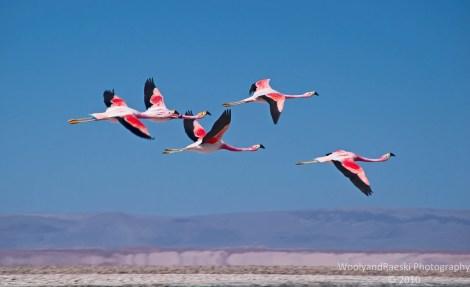 Flamingos in flight over Salar de Atacama in Chile.