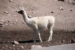 We saw lots of llamas on the trip.