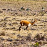 Telephoto shot of a vicuña.