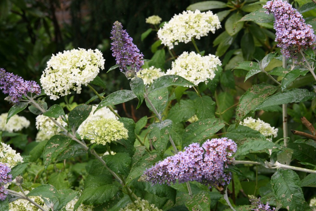 Buddleja and Hydrangea arborescens 'Annabelle',