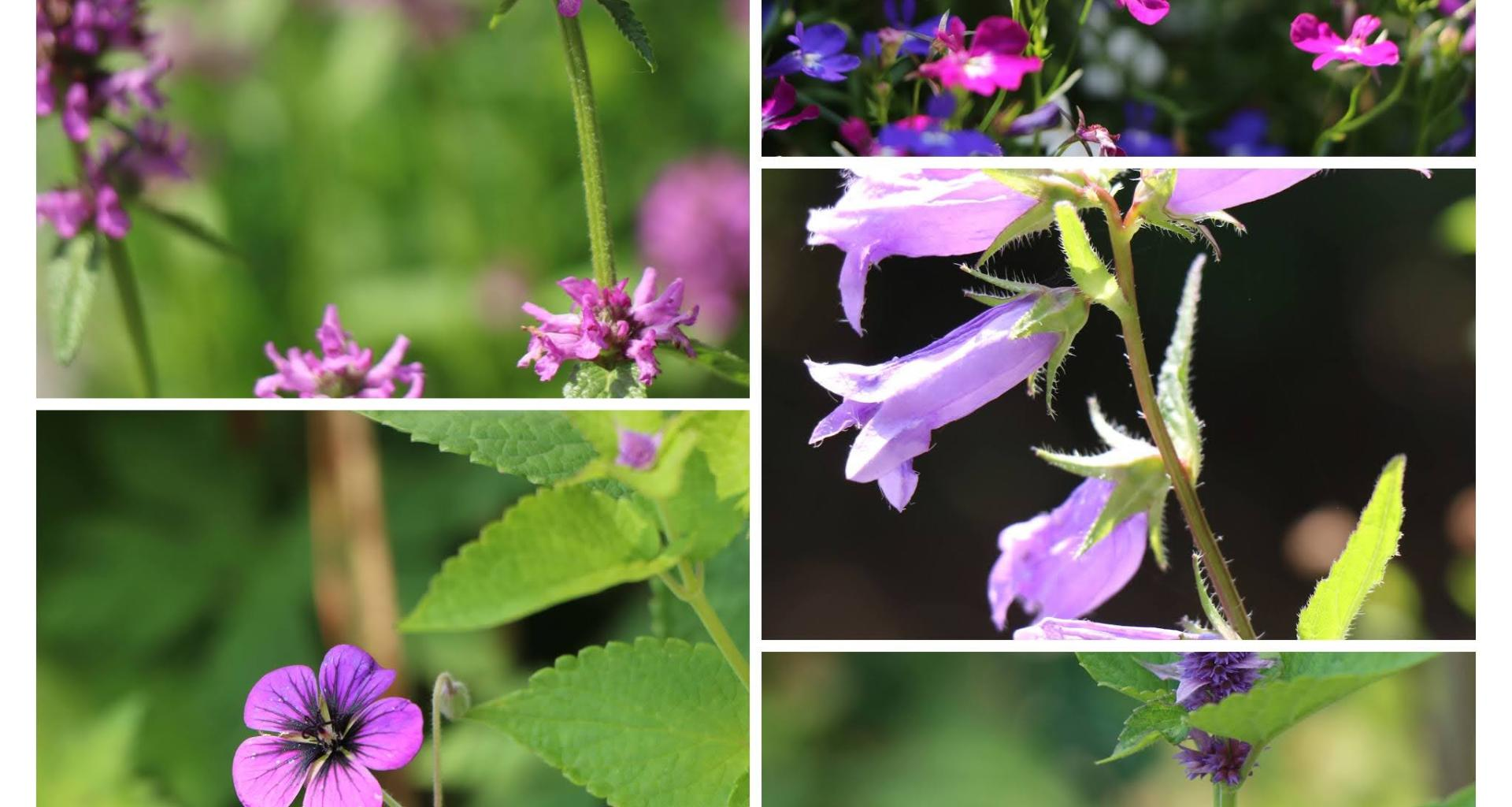 Lookbook perennials in blue purple