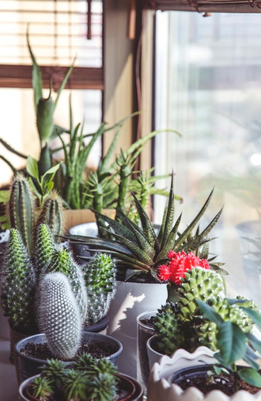 cactusplant