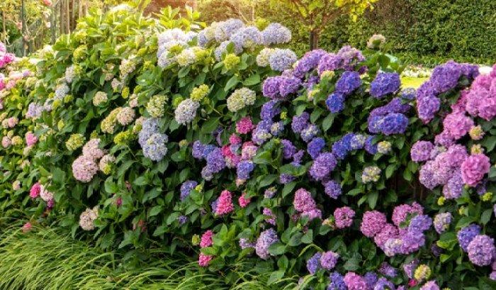 hortensia met kleur