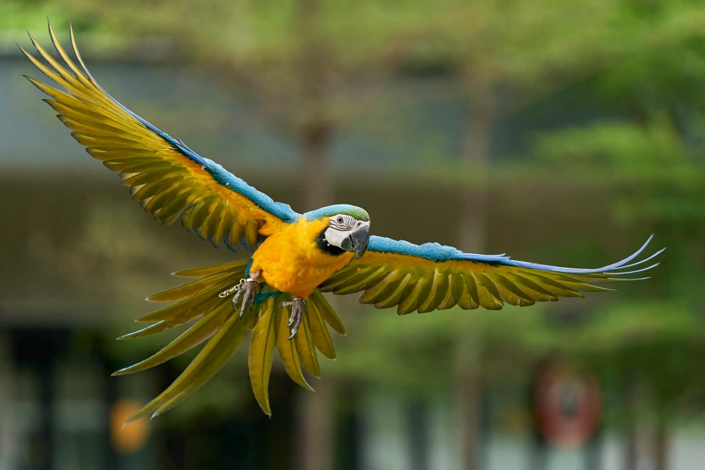 Ranger the Blue & Gold Macaw