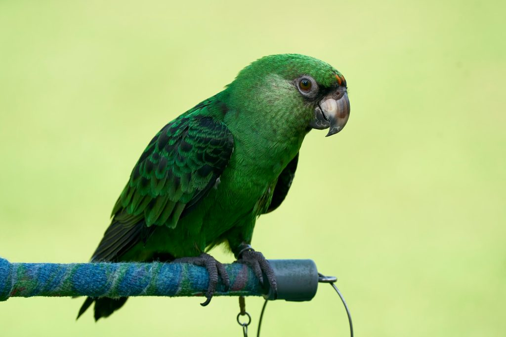 Lucky the Jardine Parrot