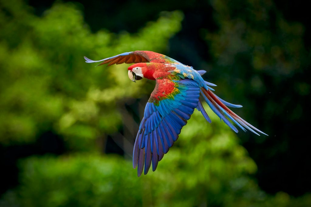 Royal the Ruby Macaw